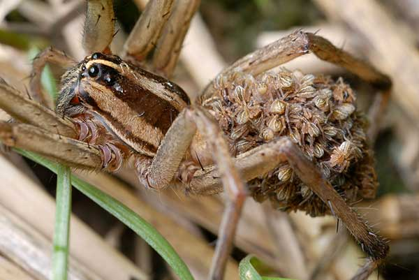 Wold Spiders